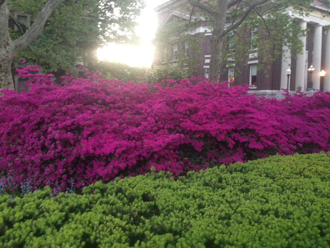 Azaleas at Columbia, May 14, 2015